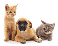 Kittens and puppy. Royalty Free Stock Images