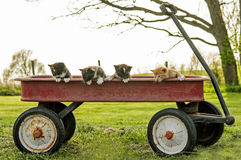 Kittens in a red wagon Stock Photo