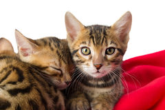 Kittens on red whip caress each other. Kittens resting on a red blanket Stock Images