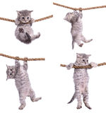 Kittens with rope. Four small striped kittens Scottish tabby breed. animasl hanging on a rope isolated on white background Royalty Free Stock Photo