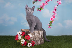 Kittens Russian blue cat playing on the grass in spring day Royalty Free Stock Photos