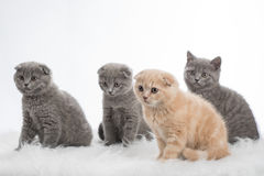 Kittens of Scottish Fold Royalty Free Stock Image
