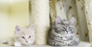 Kittens on the scratching post, cream and blue version of siberian breed of cat. Puppies of siberian cat on the scratching post stock photos