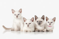 Kittens. Several Thai cats on white background Stock Photo