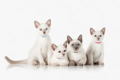 Kittens. Several Thai cats on white background Stock Photos