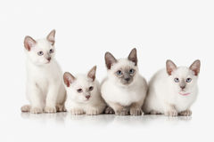 Kittens. Several Thai cats on white background Royalty Free Stock Images