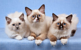 Kittens showing off white paws. 3 Ragdoll kittens in a row against blue background stock photos