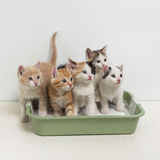 Kittens sitting in cat toilet Royalty Free Stock Photo