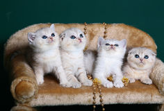 Kittens sitting on a green background. Scottish Shorthair kittens sitting on a green background Stock Images