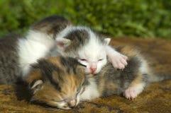 Kittens sleep Royalty Free Stock Photo