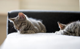 Kittens sleep Stock Photography