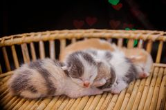 kittens sleep in wooden basket. Royalty Free Stock Photography