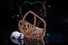 kittens sleep in wooden basket. Royalty Free Stock Photos