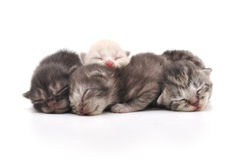 Kittens Sleeping Stock Image