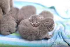 Kittens sleeping Stock Photography