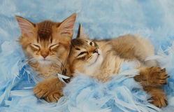 Kittens sleeping on blue feathers. Somali kitten siblings sleeping amongst blue feathers Stock Photos
