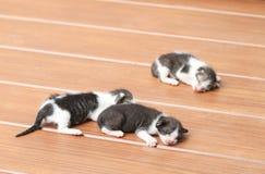 Kittens sleeping. On brown wooden floor Stock Photo