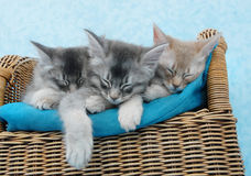 Kittens sleeping on a chair. Three somali kitten siblings asleep on a chair royalty free stock photography