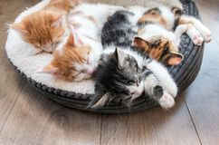 Kittens sleeping in a fluffy white bed. Looking down at four fluffy kittens sleeping in a white bed Stock Image