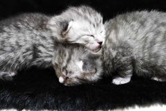 Kittens sleeping striped newborn eyes closed Royalty Free Stock Photography