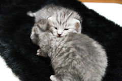 Kittens sleeping striped newborn eyes closed Stock Photo