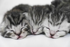 Kittens sleeping striped newborn eyes closed Royalty Free Stock Images