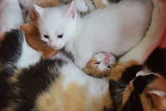 Kittens. Sleeping with their mother Stock Photography