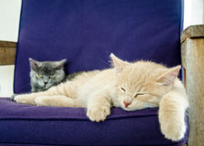Kittens sleeping together Royalty Free Stock Photo