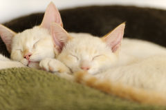Kittens Sleeping Royalty Free Stock Photos