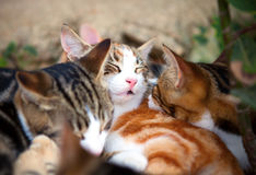 Kittens sleeping Royalty Free Stock Image