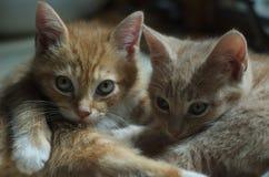Kittens Snuggling. 9 week old buff and orange kittens snuggling Stock Image