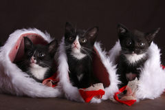 Kittens in socks. Three kittens hiding in Christmas socks Royalty Free Stock Photography