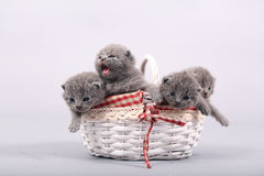 Kittens staying in a basket Royalty Free Stock Photos