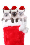 Kittens in a Stocking Wearing Santa Hats Stock Photo