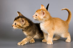 Kittens  in studio. Kittens of Abyssinian breed in studio Royalty Free Stock Images