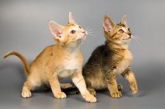 Kittens  in studio. Kittens whom the first time poses in studio Stock Photography