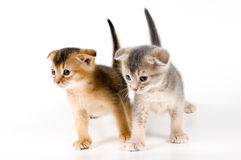 Kittens in studio. On a neutral background Royalty Free Stock Photo