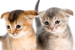 Kittens in studio. On a neutral background Royalty Free Stock Photos