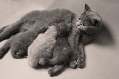 Kittens suckling for mother, British Shorthair breed. British Shorthair mom cat feeds her kittens stock image