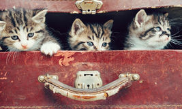 Kittens in suitcase Stock Image