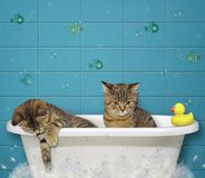 Kittens take a bath. The two kittens take a bath and play with foam stock image