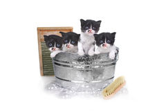 Kittens Taking a Bath in a Washtub With Brush and Bubbles Royalty Free Stock Image
