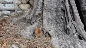 Kittens on the tree. Two little kittens rusty and gray play on an olive tree stock video
