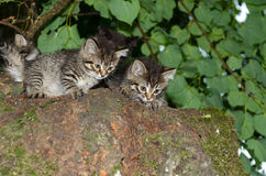 Kittens twins. Wild cats Royalty Free Stock Images