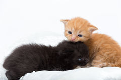 Kittens. Two young kittens or cats express affection royalty free stock photos