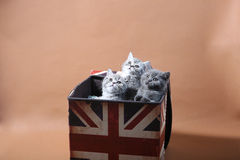 Kittens in Union Jack box. Gery British shorthair kittens sitting inside Union Jack box royalty free stock photos