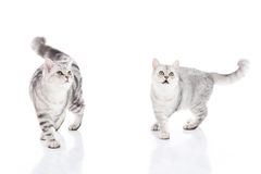 Kittens walking and looking up on white background Royalty Free Stock Photography