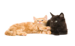 Kittens on white background Royalty Free Stock Image