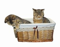 Kittens in a wicker basket royalty free stock photo