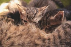 Kittens will suck milk. From a cat Royalty Free Stock Photos